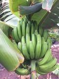 未成熟的香蕉果子 免版税图库摄影