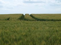 未成熟的麦地,蓝天在背景中 图库摄影