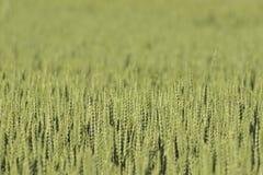 未成熟的麦子 免版税库存图片