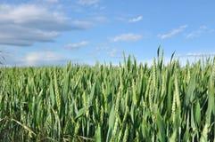 未成熟的麦子 免版税图库摄影