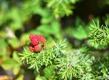 未成熟的黑莓自然绿色红色 图库摄影