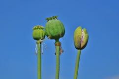未成熟的绿色鸦片头 免版税库存照片