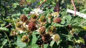 未成熟的黑莓 免版税库存图片