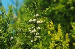 未成熟的Hodginsii种子 图库摄影