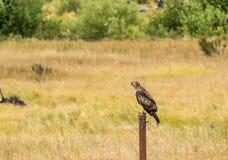 未成熟的Swainson ` s鹰在洛矶山国家公园 库存照片