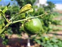 未成熟绿色橙色生长在树 免版税库存图片
