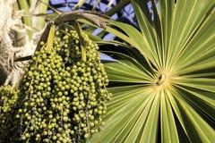 未成熟acai的浆果 库存图片