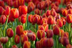 未打开的红色郁金香在庭院里。 库存图片