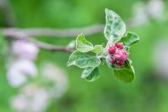 未打开的花蕾苹果树 库存照片