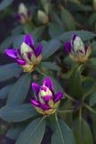 未打开的芽紫色花 库存图片