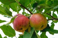 未拣过的新鲜的有机红色和绿色苹果有自然叶子背景 免版税库存照片