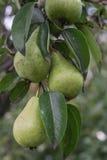 未拣过的新鲜的有机绿色未成熟的梨有自然叶子背景 库存图片