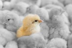 未清的小鸡 免版税图库摄影