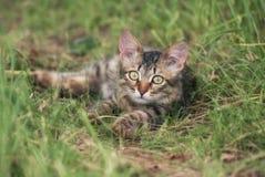 未知的品种一只美丽的镶边露天使用的和寻找的小猫在草的 免版税图库摄影