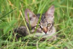 未知的品种一只美丽的镶边露天使用的和寻找的小猫在草的 免版税库存图片