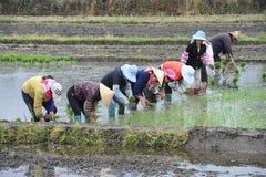 未认出的中国农夫在米领域努力工作 库存照片