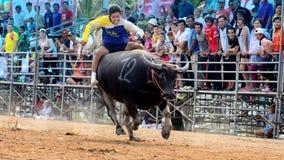 未认出的人控制他们的跑的水牛在赛跑的体育 免版税库存图片