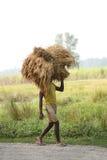 未认出的农夫运载从农厂家的米 免版税库存图片
