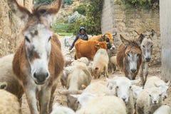 未认出的艾马拉牧羊人在他的村庄, Isla的del Sol,玻利维亚 免版税图库摄影