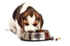 未过滤原始的解决方法被射击unsharpen的小猎犬格式高图象最大的小狗质量是 免版税库存照片
