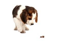 未过滤原始的解决方法被射击unsharpen的小猎犬格式高图象最大的小狗质量是 库存图片
