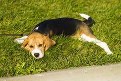 未过滤原始的解决方法被射击unsharpen的小猎犬格式高图象最大的小狗质量是 图库摄影