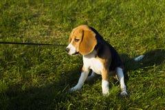 未过滤原始的解决方法被射击unsharpen的小猎犬格式高图象最大的小狗质量是 免版税库存图片
