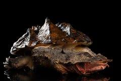末多末多,在被隔绝的黑背景的Chelus fimbriata 库存照片