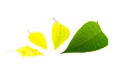 末端四绿色叶子黄色 图库摄影