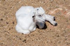 本国山羊山羊属aegagrus hircus 7个动物动画片农厂例证系列 库存图片