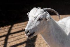 本国山羊山羊属aegagrus hircus 7个动物动画片农厂例证系列 免版税库存照片