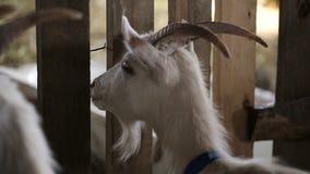 本国山羊牧群在畜栏 影视素材