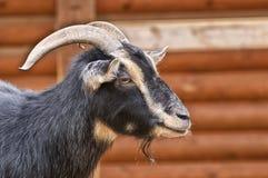 本国山羊-山羊属aegagrus hircus 库存照片