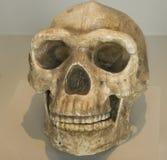 本地产的当地秘鲁头骨 图库摄影