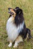 本地狗概略的大牧羊犬品种 免版税图库摄影