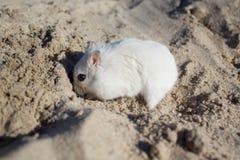 本质上,老鼠是一只dzhungar仓鼠 库存照片