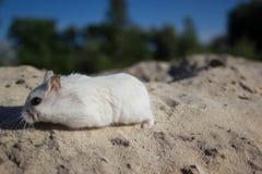 本质上,老鼠是一只dzhungar仓鼠 库存图片