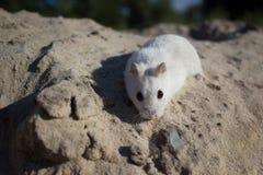 本质上,老鼠是一只dzhungar仓鼠 免版税库存照片