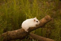 本质上,老鼠是一只dzhungar仓鼠 免版税图库摄影