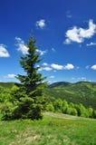 本质春天云杉结构树 库存图片