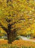 本那比加拿大- 2017年11月4日:秋天在美丽的下落的金黄槭树BCIT背景中离开 免版税库存照片