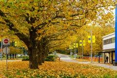 本那比加拿大- 2017年11月4日:秋天在美丽的下落的金黄槭树BCIT背景中离开 图库摄影
