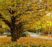 本那比加拿大- 2017年11月4日:秋天在美丽的下落的金黄槭树BCIT背景中离开 免版税库存图片