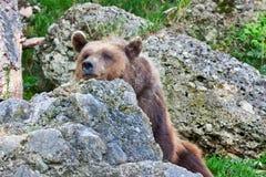 本质上放松的熊 放松的野生动物 库存照片