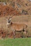 朱拉拍摄了苏格兰雄鹿 免版税图库摄影