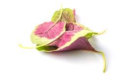 朱红色的菠菜离开IV 免版税图库摄影