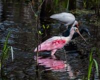 朱鹭、苍鹭和篦鹭走入沼泽 免版税库存图片