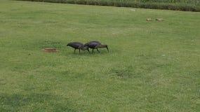 朱鹭夫妇,南非 免版税库存照片