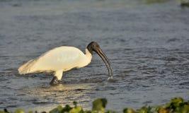 朱鹭类melanocephalus或Black-headed朱鹭-趟过在河 库存照片
