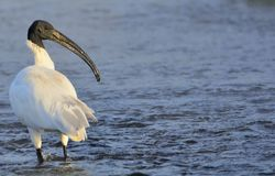 朱鹭类melanocephalus或Black-headed朱鹭-趟过在河 库存图片